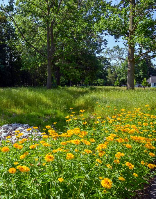 Yellow flowers blooming at Brookwood Area Metropark